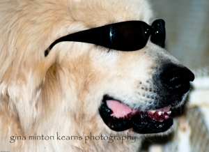 Beemer, a sweet Great Pyrenees, shows his Hollywood