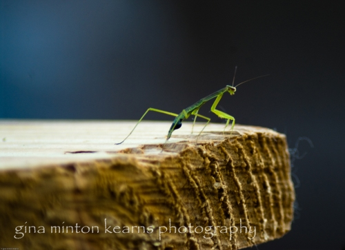 A young praying mantis sits in the sun of early summer