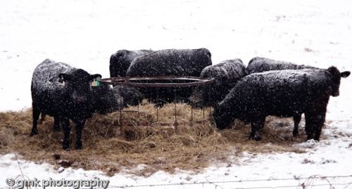 Snow-covered cows as they indulge in hay.  They seem no worse for the wear.  Encouraging.;